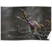 himalayan magnolia winter buds Poster