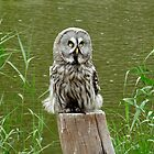 The Great Grey Owl  by angeljootje