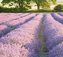 Lavender fields at Hartley Park Farm, Alton, Hampshire, England by Ian Middleton