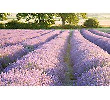 Lavender fields at Hartley Park Farm, Alton, Hampshire, England Photographic Print