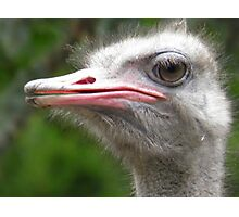 The Ostrich, Struthio camelus Photographic Print