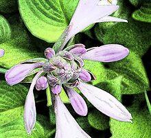 Flowering Hosta by grandmarennie