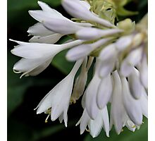Blooming White Bells Photographic Print