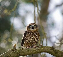 Little Owl  (Athene noctua) by Elaine123
