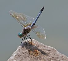 Blue Dasher Dragonfly by noffi