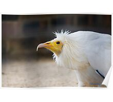 Egyptian Vulture (Neophron percnopterus) also known Pharoahs Chicken  Poster