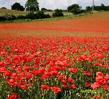 Poppies in Bewdley by ambphotos