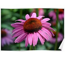 purple cone flower 83 Poster