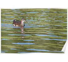 Birds on Bright Water: Juvenile Moorhen2 Poster