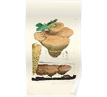 Coloured figures of English fungi or mushrooms James Sowerby 1809 0471 Poster
