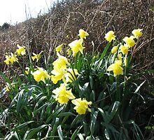 Cornish Daffodils (5867) by Tony Payne