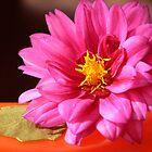 Pink Dahlia by Sheryl Kasper