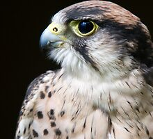 Side Profile Of A Peregrine Falcon - (Falco peregrinus). by Robert Taylor