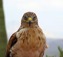 Ferruginous hawk portrait by Sherry Pundt