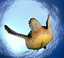 Green Turtle by Henry Jager