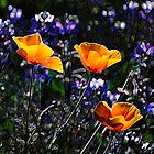 California Poppies  by stephcox