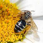 Davis Mining Bee - Lyme Dorset UK by lynn carter