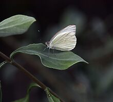 GREAT SOUTHERN WHITE BUTTERFLY by TomBaumker