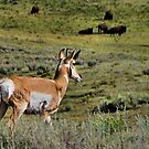 Pronghorn with Bison - Yellowstone National Park by JamesA1