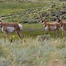 Pronghorn on alert - Yellowstone National Park by JamesA1