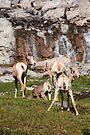 Bighorn sheep II by zumi