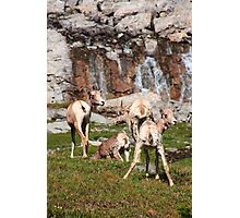 Bighorn sheep II Photographic Print