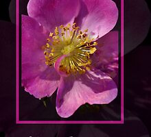 Happy Birthday - Pink Flower on Black Background by Joy Watson
