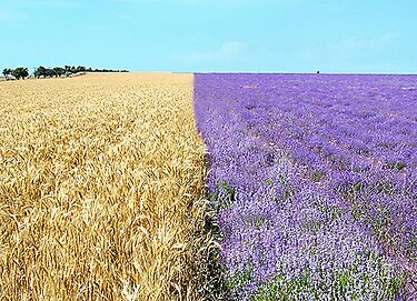 The big season of a lavender 1. Fields of Ukraine.   by kindangel
