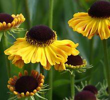 Goldfox -  Helenium flowers by cagunique