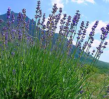 The big season of a lavender 3 .Mountain lavender ... by kindangel