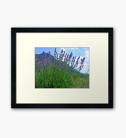 The big season of a lavender 3 .Mountain lavender ... Framed Print