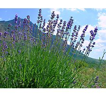 The big season of a lavender 3 .Mountain lavender ... Photographic Print