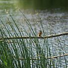 My 1st Kingfisher Through Reeds.... by Sandra Cockayne
