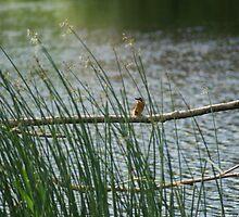 My 1st Kingfisher Through Reeds.... by Sandra Cockayne