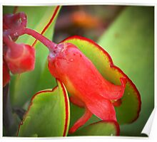 red succulent flower Poster