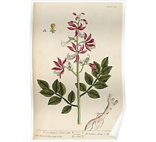 A curious herbal Elisabeth Blackwell John Norse Samuel Harding 1737 0194 White Dittany or Fraxinella Poster