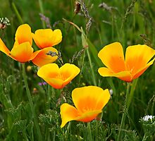 California Poppy & Wildflowers by AnnDixon