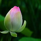 Lotus Bud by Anne Smyth