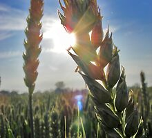 The Summer Wheat by Paul Hickson