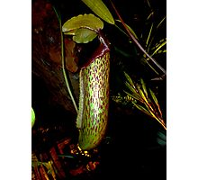 Insectivorous Plant, Penang, Malaysia. Photographic Print