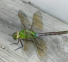 Beautiful Dragonfly (4 inches) by vjmarro