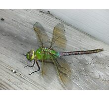 Beautiful Dragonfly (4 inches) Photographic Print