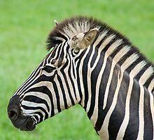 Zebra Posing  by ejrphotography