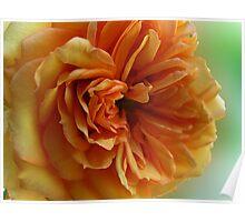 ~ Sweet Rose ~ Poster