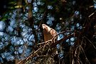 Mourning Dove by Mike Oxley