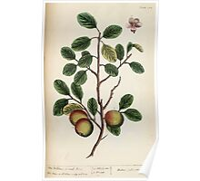 A curious herbal Elisabeth Blackwell John Norse Samuel Harding 1737 0456 The Wilding or Crab Tree Poster