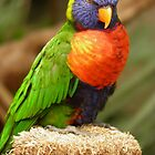 Rainbow Lorikeet  by angeljootje