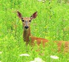 Deer In Wildflowers by lorilee