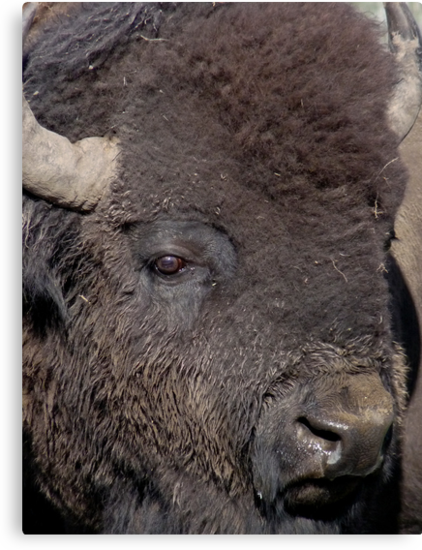 The Great American Bison by Lucinda Walter