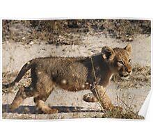 Lion cub Poster